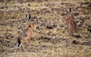 兩隻兔兔站在路上互相揮拳 牠們竟然在「打架」?