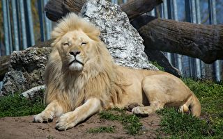 獅子開始時很溫馴 當牠的舉動過分親暱時 讓人捏把冷汗!