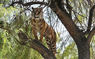 老虎爬樹抓猴媽猴崽 被母猴使妙計慘遭「自由落體」
