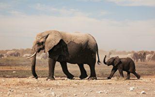 母獅跟隨象群伺機靠近小象 母象發威劍拔弩張 結果……