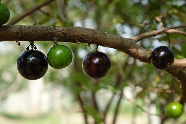中共僱地痞砍果樹 逼農民5年內只能種糧