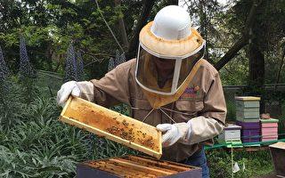圣荷西公园新增蜂箱  两百万蜜蜂采蜜忙