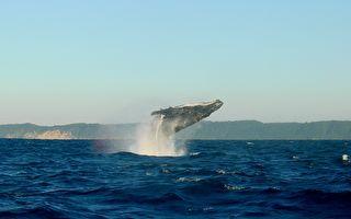 座頭鯨遭海洋廢棄物捆綁 重獲自由後騰空感激