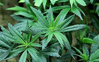 优胜美地发现非法种大麻 危及环境