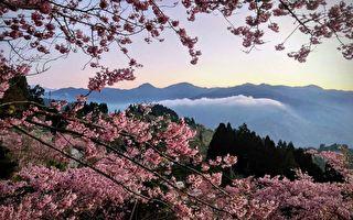 赏樱秘境 台湾樱花之美让日本人感动
