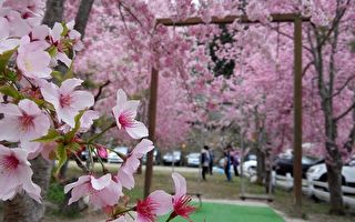 台湾赏樱秘境 樱花之美让日本人感动