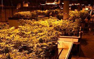 大麻合法化吸引跨國罪犯湧入
