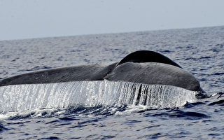 濒危物种研究:新西兰蓝鲸拥有独特基因