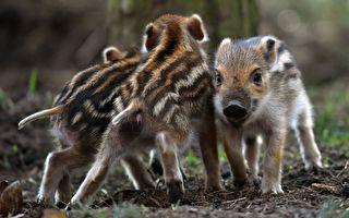 """""""等等我们""""野猪妈妈狂奔 小猪宝宝追不停"""