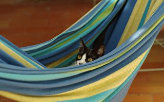 貓咪遇到新吊床 尷尬出槌翻肚躺毛毯