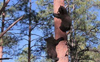 有熊出没!撞见黑熊家族爬树 萌样惹人爱