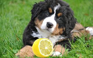 萌犬與檸檬初相遇 下一秒酸到不要不要