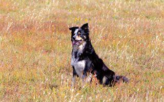 女童彻夜失踪16小时 聋盲老忠犬救了她