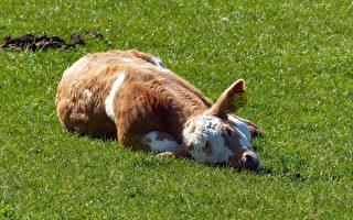 人家就想躺躺!小牛任性撒娇占领狗狗的床