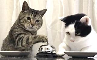按铃就有吃的 日本一对猫咪训练有素
