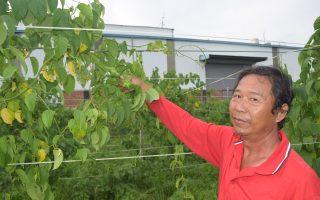 種植超級食物印加果樹 青農口耳相傳正夯