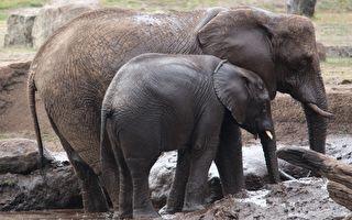 教小象跨越高坡 象媽媽的育兒經 你看懂了嗎