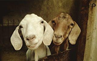 小山羊被刷毛太開心 眼睛都笑彎!