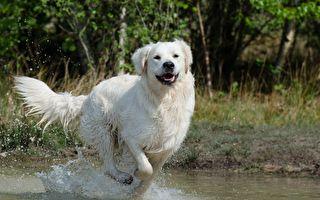 金毛猎犬聚会水上乐园 游泳跳水好happy