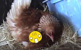 這隻雞母愛爆發 看看除了蛋牠還孵……