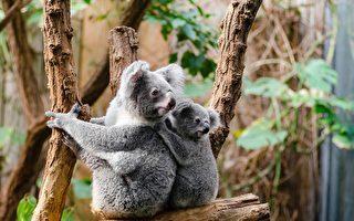 考拉生存處危機 野生動物基金會吁政府拯救