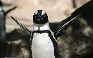 企鹅突然这么做 让观众都被逗乐了