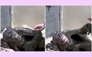 59岁黑猩猩临终拒食 看到谁在喂它 深情拥抱