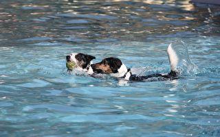 看到泳池就不受控!狗狗一下水high到不行