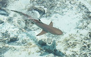 海灘上男孩跳入水中 四條鯊魚同時向他游來