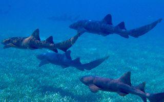 无人机发现大群鲨鱼 新州海滩关闭百人疏散