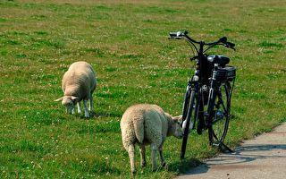 小绵羊的逆袭!霸气十足追撞脚踏车骑士