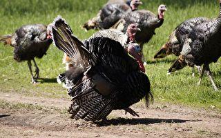 男子喬裝火雞被識破 火雞群激動暴衝