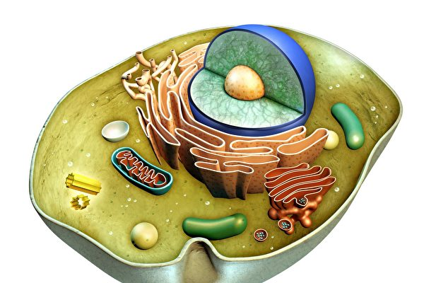 研究:細胞核變皺導致衰老及相關疾病