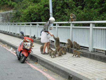 過去人類不當餵食、以及猴類破壞農損,造成人猴關係緊張。台灣獼猴從保育類將為一般類,有網友表示,可以抓猴洩憤了,農業局說,抓捕最高罰30萬。