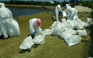 确诊H5N2禽流感病毒 彰县扑杀2,505只肉鸭