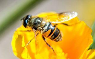 消失近百年 澳洲罕見蜜蜂再現新州昆州