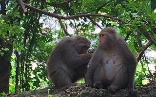 獼猴降一般類仍受保障 台農業局:獵捕罰30萬