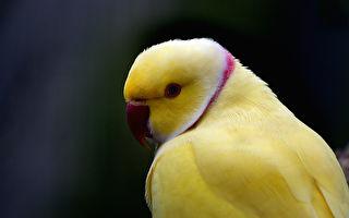 最暖心告白!鸚鵡在主人耳邊說「我愛你」