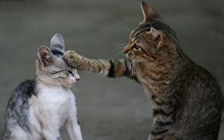 不給吃?萌貓抓不到老鼠怒打同伴 網友笑翻