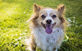 狗狗就是要玩耍!吉娃娃撒娇模样超可爱