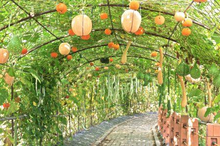 龙昇湖畔的美丽南瓜隧道。