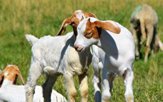 """山羊界双胞胎超可爱 妹妹""""烦""""人功力一流"""
