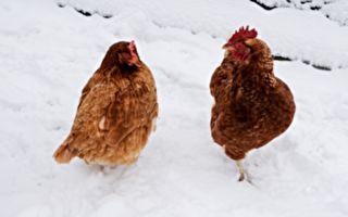 """雪地里出现""""一串""""鸡群!它们要上哪去?"""