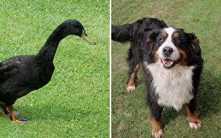 別跑~動物版警察抓小偷 鴨追狗跑不停 草皮都被踩秃了