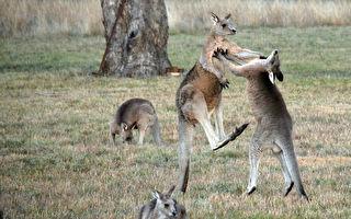 两位袋鼠大哥有话好说 别一上来就亮拳脚啊