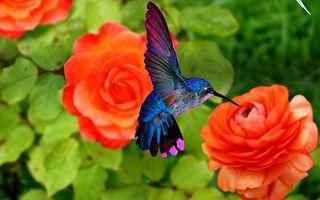 美到像幅画!蜂鸟与红色玫瑰花的相遇