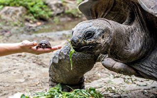 """亚达伯拉象龟宝宝出生仅""""40克"""" 与爸妈体重相差千倍!"""