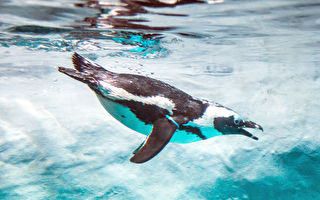 除了人氣王「國王企鵝」 別冷落了瀕危的「黑腳企鵝」喔