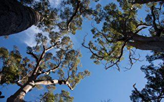 【西澳旅游】一路向南 Pemberton树之旅 给身心充个电