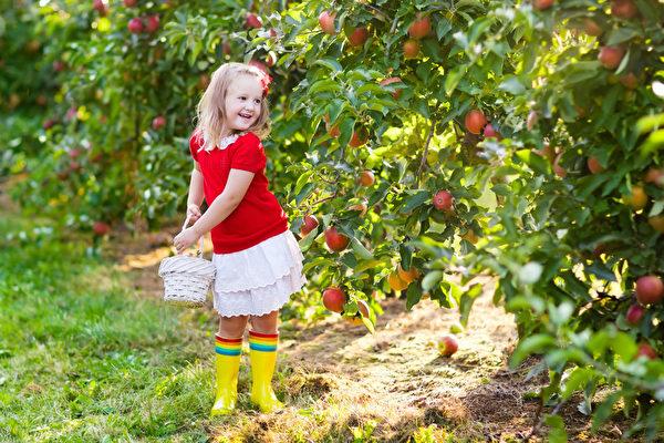 小女孩在果园里挑苹果